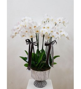6 dallı beyaz orkide tasarım
