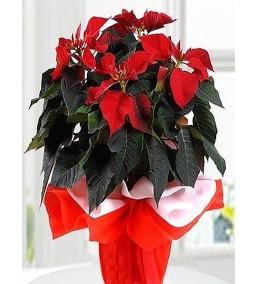 Atatürk-Ponsetya çiçeği